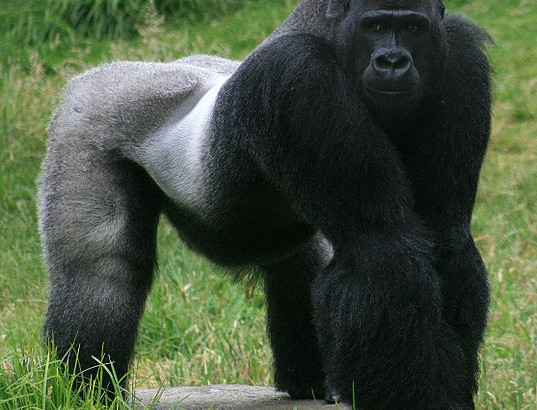 537px-Male_gorilla_in_SF_zoo